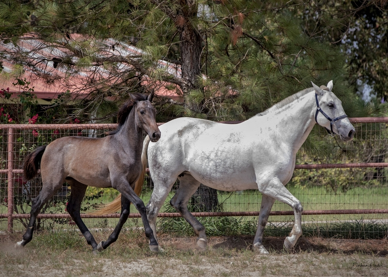 2019 Spanish Andalusian Gray Filly