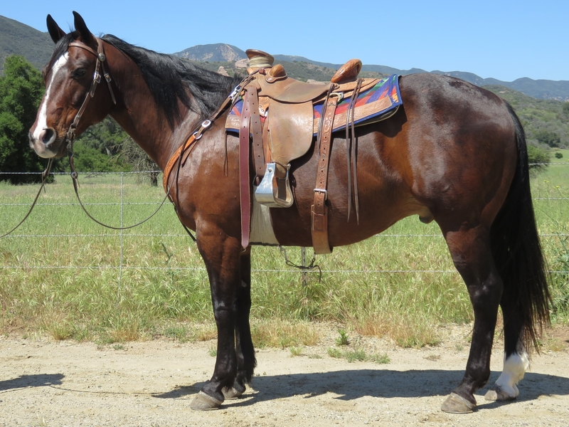 10 YEAR OLD 15 HAND BAY GELDING