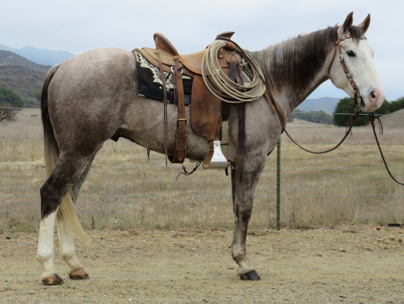 7 YEAR OLD 15.1 HAND GRAY GELDING