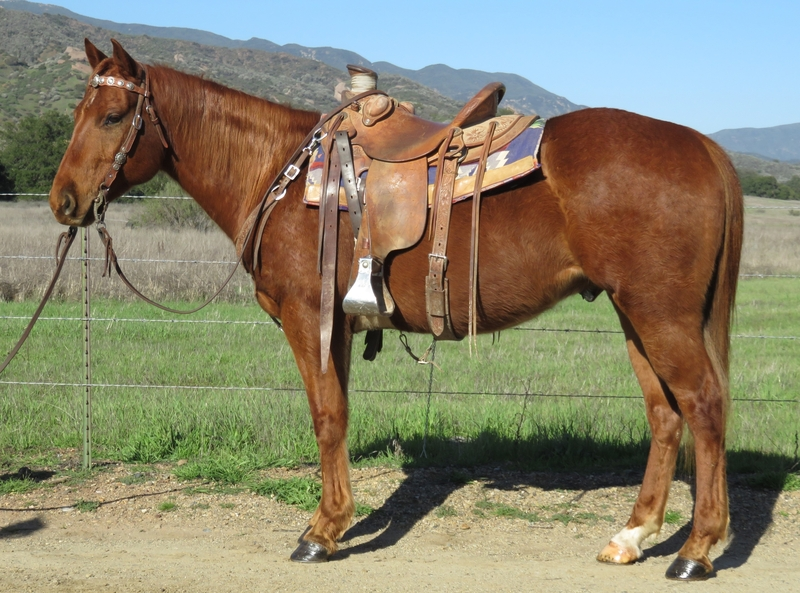 6 YEAR OLD 14.3 HAND SORREL GELDING