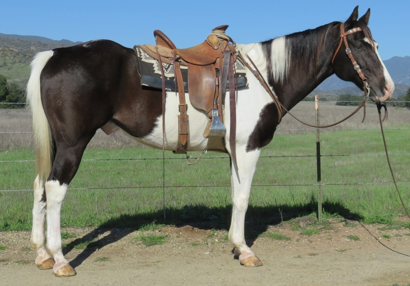 10 YEAR OLD 16.1 HAND BLACK AND WHITE PAINT GELDING