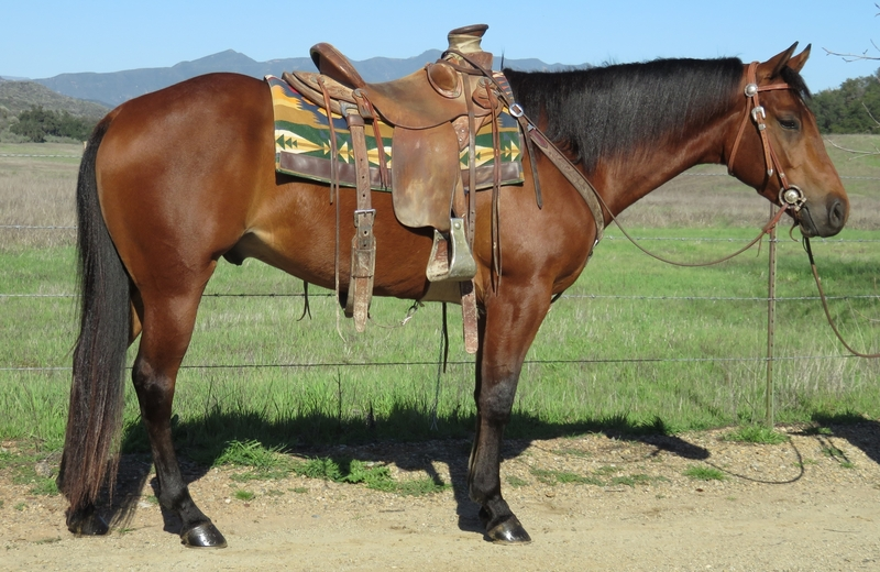 5 YEAR OLD 15 HAND BAY GELDING