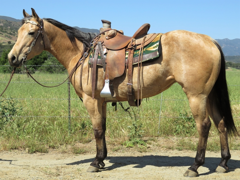 5 YEAR OLD 14.3 HAND BUCKSKIN MARE