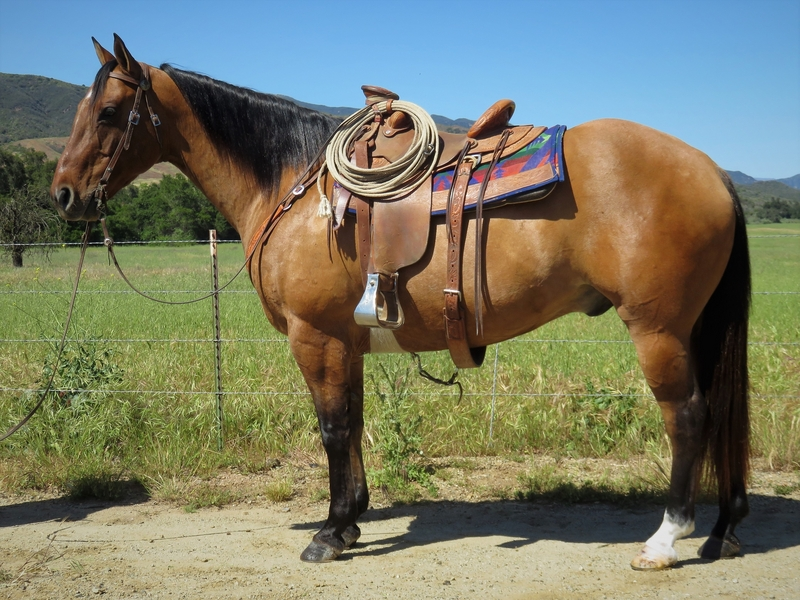 11 YEAR OLD 15.3 HAND DUN GELDING