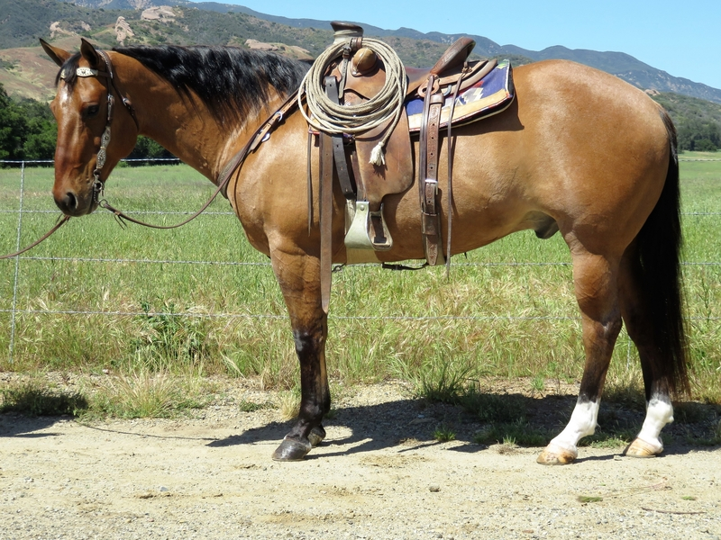 10 YEAR OLD 15.3 HAND DUN GELDING