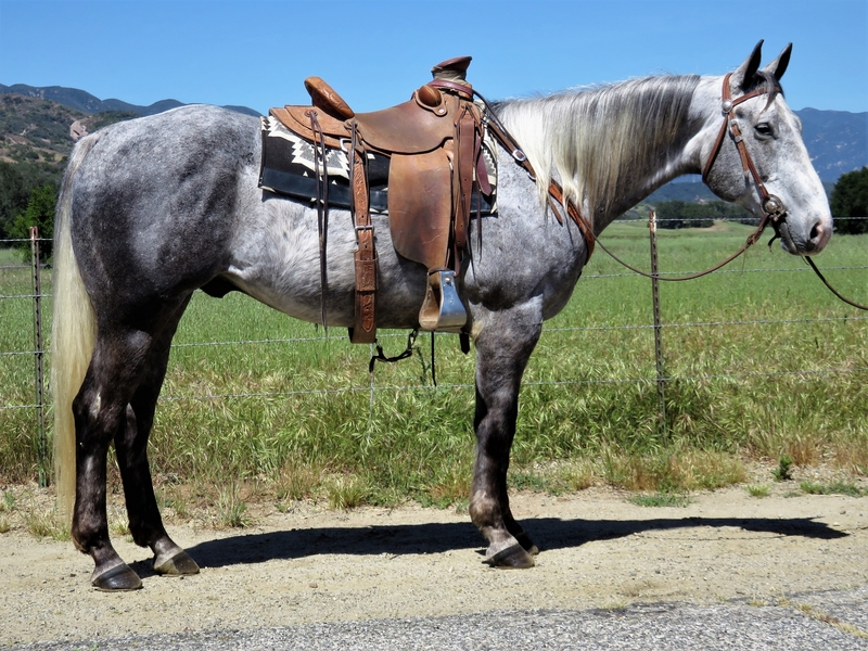 7 YEAR OLD 15.1 GRAY GELDING