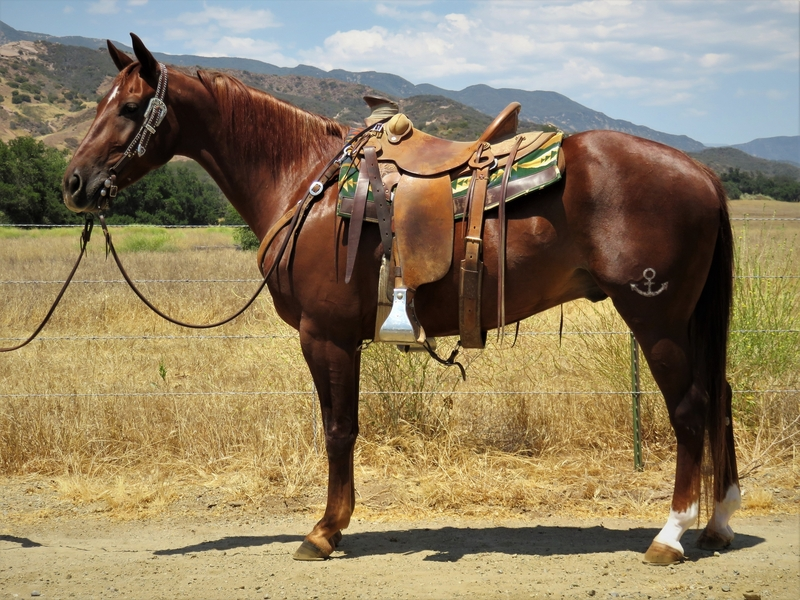 8 YEAR OLD 14.3 HAND CHESTNUT GELDING