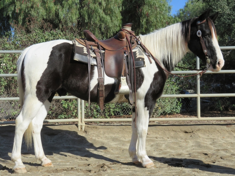 9 YEAR OLD 14.3 HAND BLACK AND WHITE PAINT GELDING