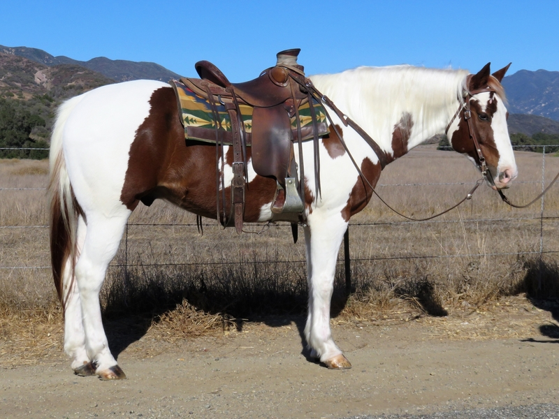 9 YEAR OLD 15.2 HAND TOBIANO PAINT