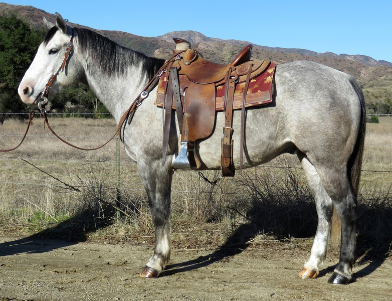 6 YEAR OLD 15 HAND APHA SOLID  GRAY GELDING