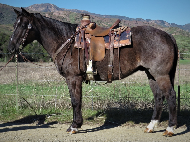 10 YEAR OLD 15.2 HAND BLUE ROAN GELDING