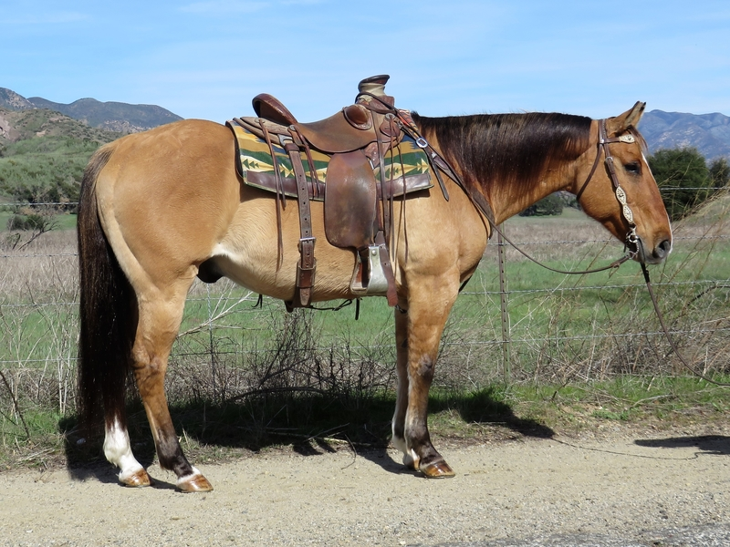 8 YEAR OLD DUN GELDING