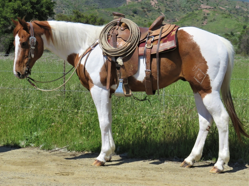 9 YEAR OLD 15 HAND SORREL TOBIANO GELDING **VIDEO**