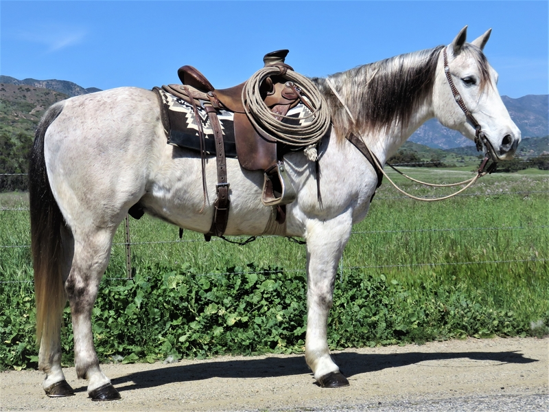 10 YEAR OLD 15.2 HAND GRAY GELDING