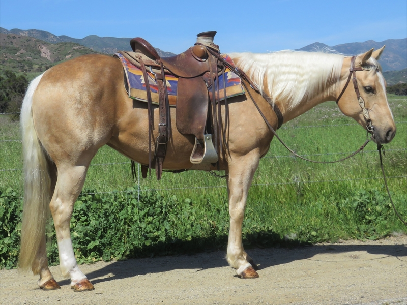 8 YEAR OLD 15 HAND PALOMINO MARE **VIDEO**