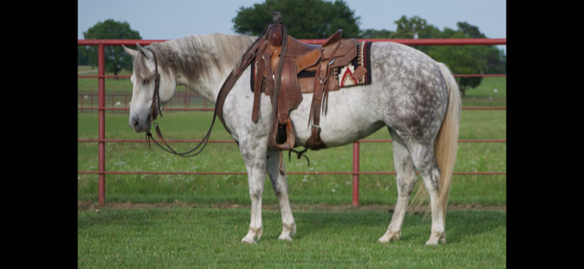 8 YEAR OLD 14.3 HAND GREY MARE