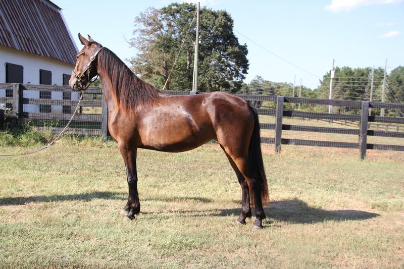 Georgian Grande/ Friesian/ Saddlebred/ Sporthorse
