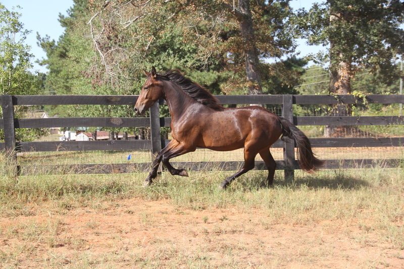 Georgian Grande/ Friesian/ Saddlebred/ Sporthorse