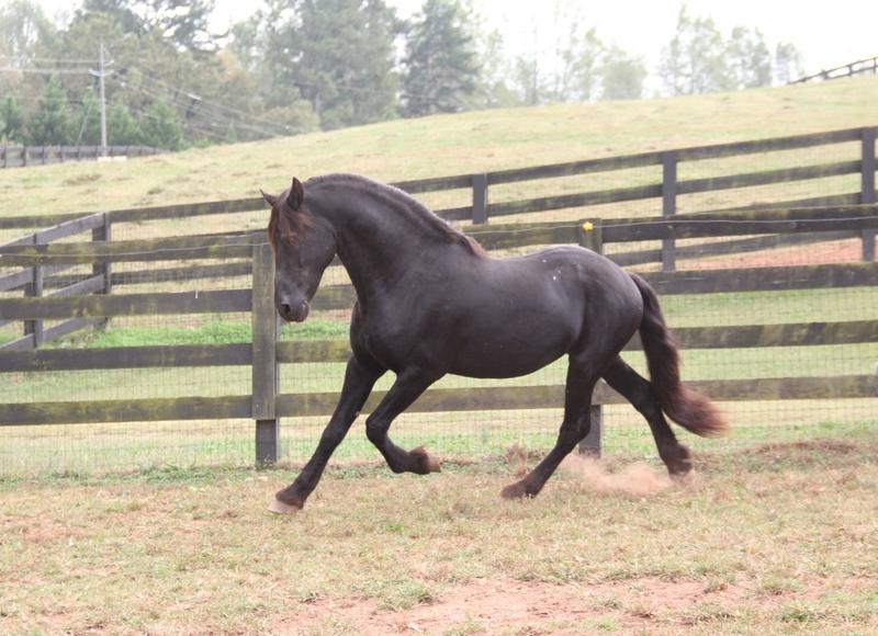 Macho/ Friesian Stallion /Producer of performance horses
