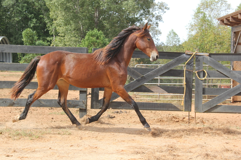 Georgian Grande/ Friesian/Saddlebred / Sporthorse