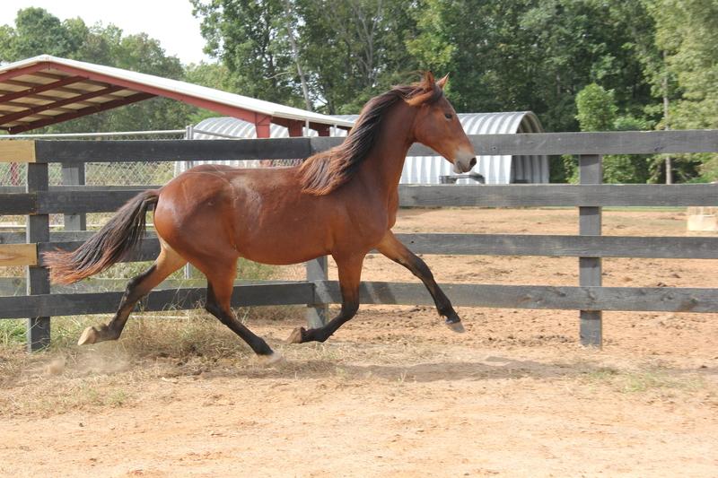 Georgian Grande/ Friesian/Saddlebred / Sporthorse