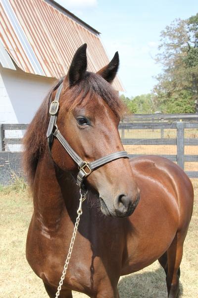 Georgian Grande /Saddlebred /Friesian /Sporthorse