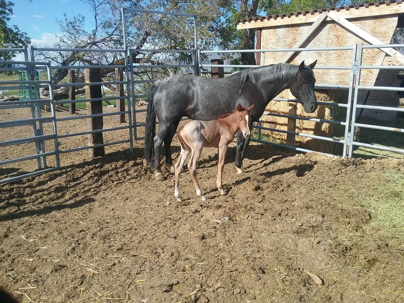 KITTY'S RED ROAN FILLY