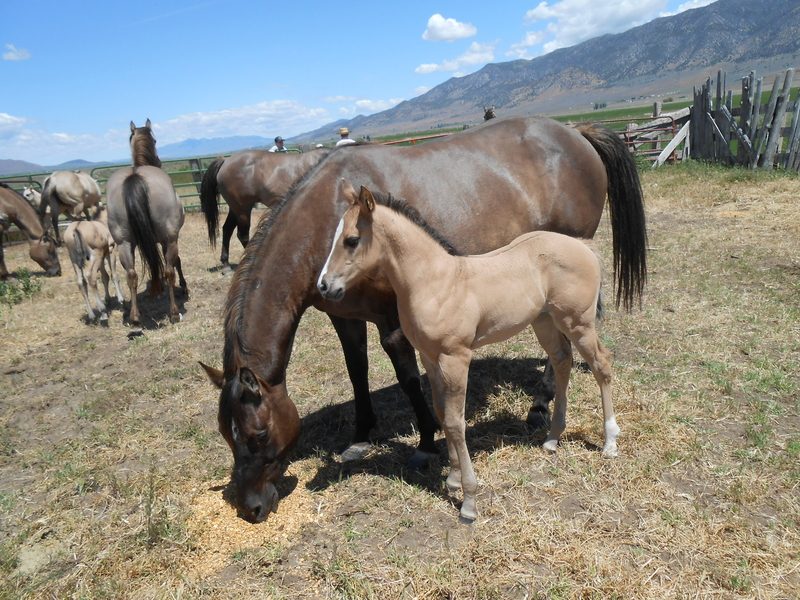 COLORADO'S 2020 GRULLA HOMOZYGOUS BLACK AND DUN FILLY