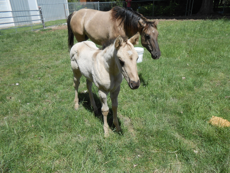 SASS'S 2020 GRULLA HOMOZYGOUZ BLACK AND DUN FILLY