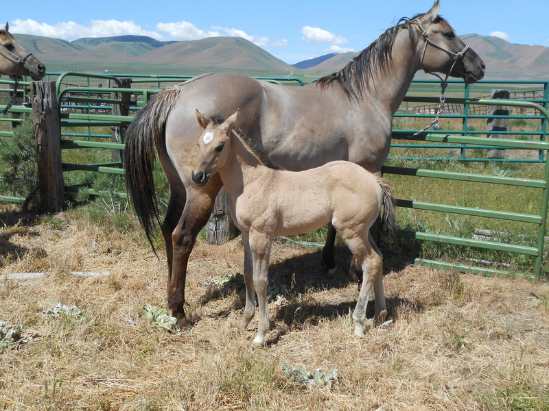 ARIZONA'S 2020 GRULLA HOMOZYGOUS BLACK AND DUN FILLY