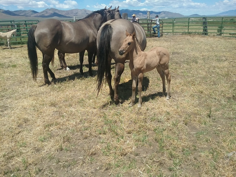 HANNAH'S 2020 GRULLA HOMOZYGOUS BLACK AND DUN FILLY