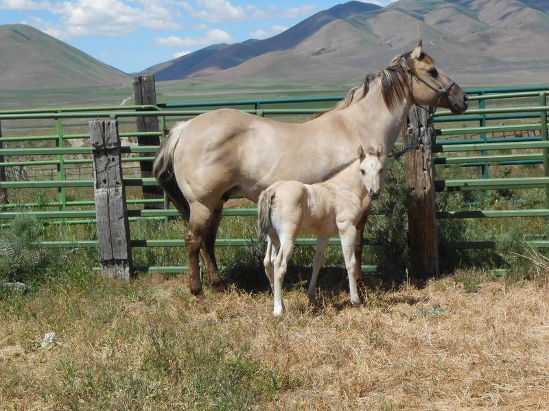 KC'S 2020 GRULLA HOMOZYGOUS DUN AND BLACK FILLY