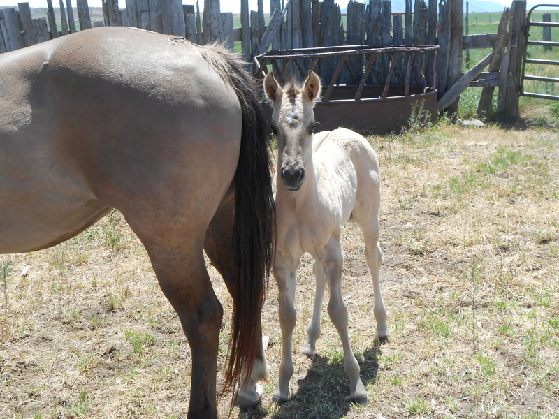 QUESTION'S 2020 GRULLA HOMOZYGOUS BLACK FILLY