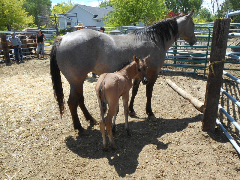 SWEETIE'S 2020 GRULLA FILLY