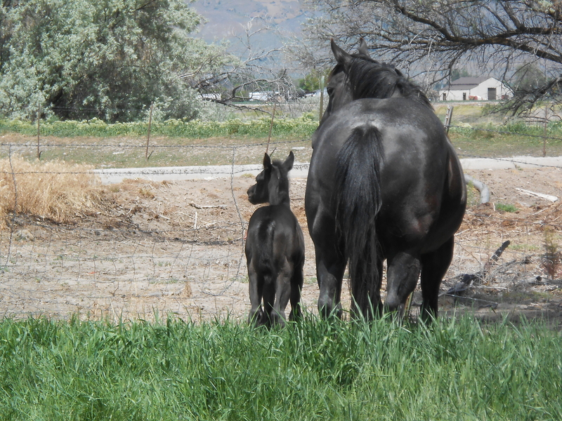 JACKIE'S 2020 BLUE ROAN FILLY