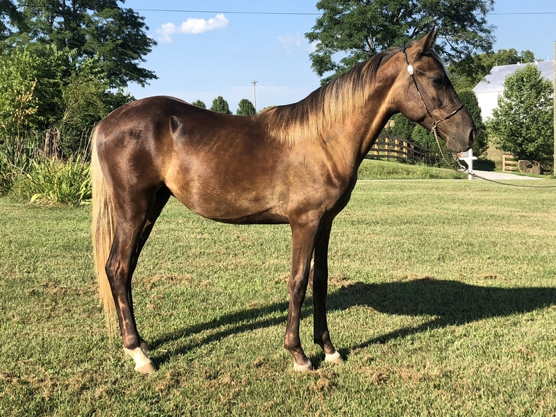 Beautiful Chocolate 13.1 Hand 2 Year Old Colt