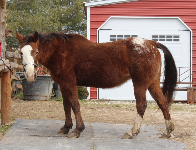 **SOLD** Dependable Little Appy Mare, Loves to Ride!