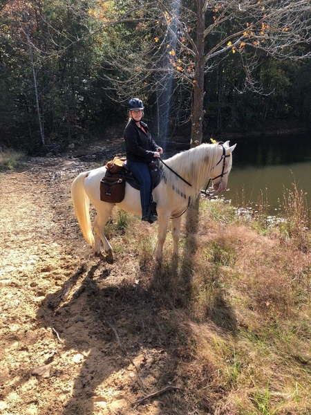 Gorgeous Easy To Ride Trail Horse/Breeding Stallion