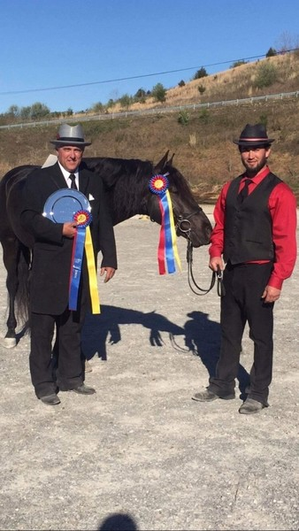 Accomplished Multi Champion Black Gelding