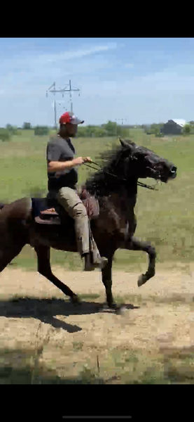Flashy 15.3 Well Gaited Easy To Ride Trail Horse