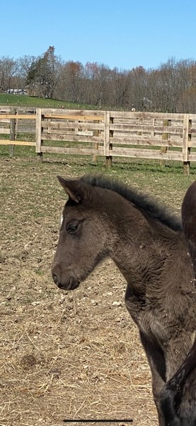 Sweet Well Bred Black Weanling Filly