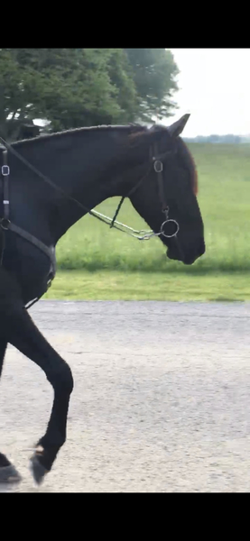 Smooth Gaited Neck Reining 15.1 Black Gelding