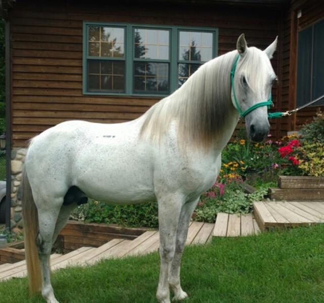 Stunning Grey Multi Grand Champion Stallion/Trail Horse
