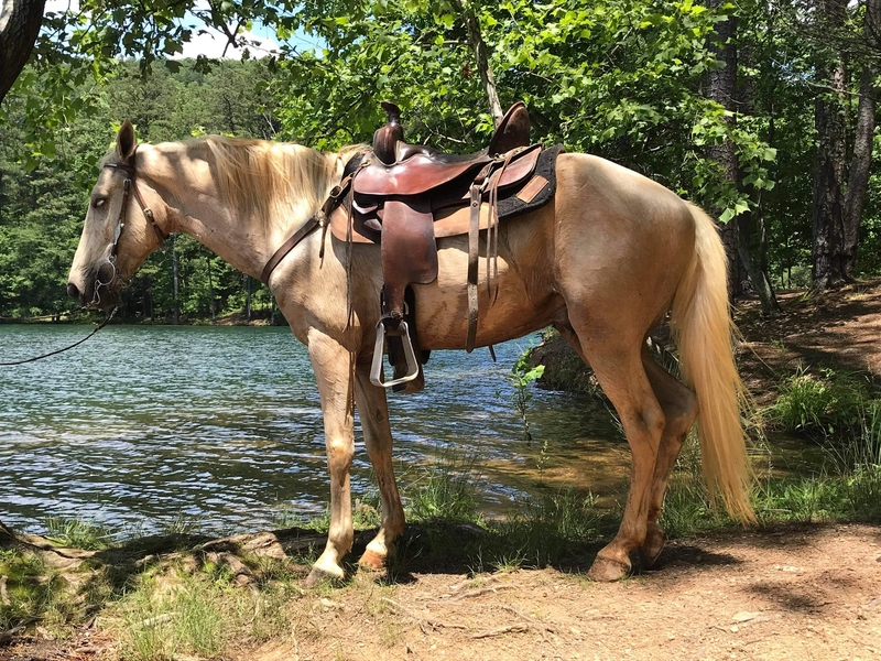 Well Gaited Trail Savvy Palomino