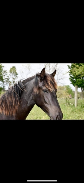 Stunning Black Well Bred Yearling Filly