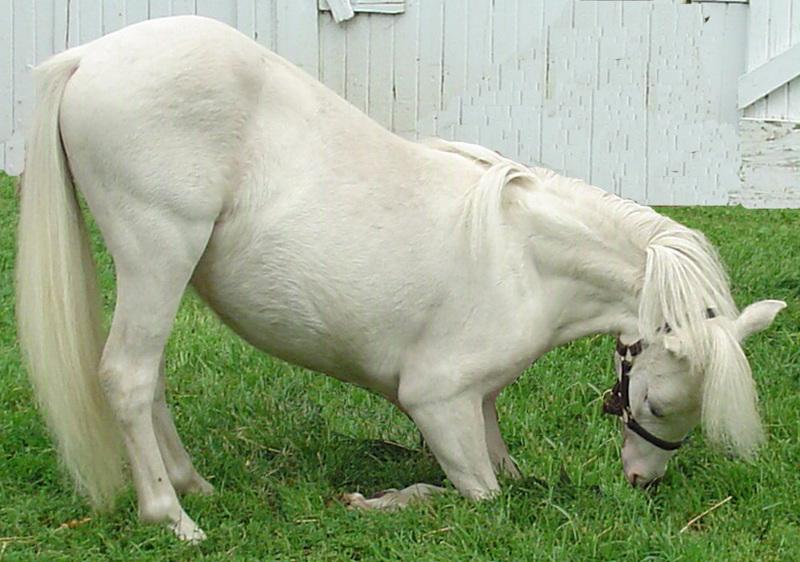 "26-29"" TALL TRICK TRAINED MINIATURE HORSES!"