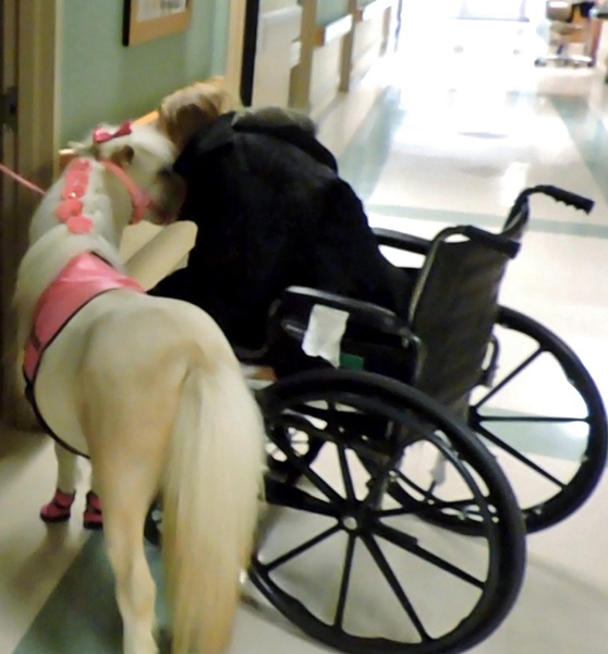 """26"""" tall Therapy Trained Miniature Horses FOR SALE"""