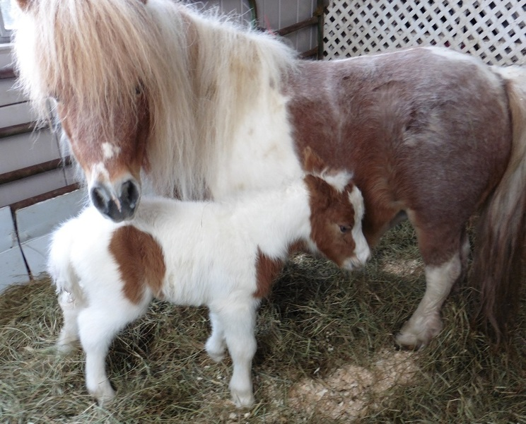 TINY 2021 Miniature Foals! Therapy Prospects!