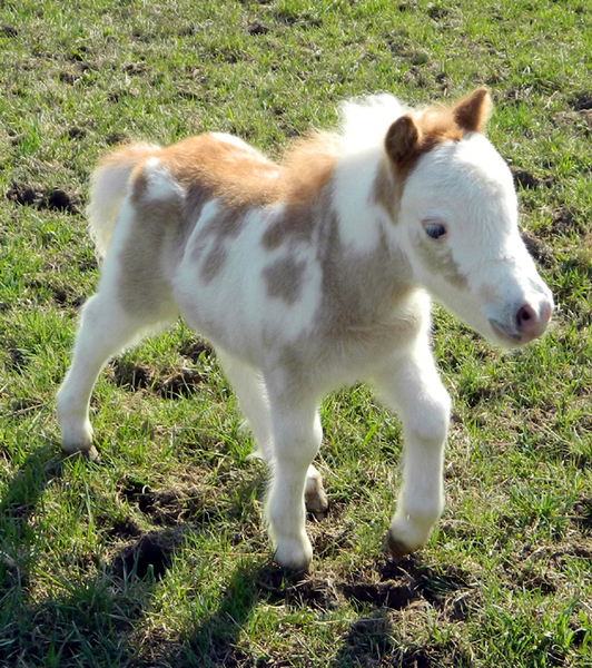TINY 2020 Miniature Foals Coming. Therapy Prospects!