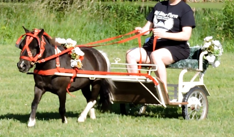Driving Training Available For Miniature Horses